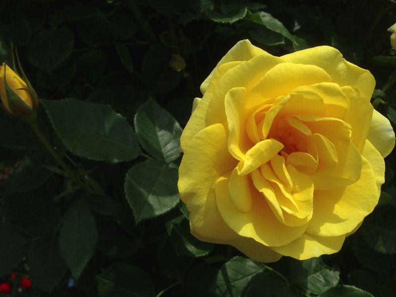keisei_rose_garden_2.jpg